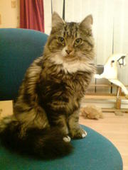 1 year old long hair beautiful cat,  Neutered & vacinated,  free