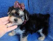 free t-cup yorkie  puppies for adoption