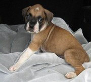 we do have lovely boxers puppy for sale